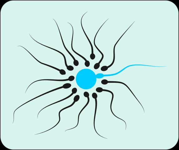 573px-Spermatozoons_44.svg